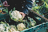 Person holding freshly harvested cauliflower