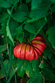 Red ripe tomato hanging amidst green leaves on garden plant