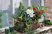 Winterfest bepflanzter Drahtkorb mit Christrose, Skimmie, Zuckerhutfichte, Segge, Purpurglöckchen und Drahtwein am Fenster