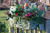 Winterlich bepflanzter Kasten mit Torfmyrte, Skimmia, Christrose, Efeu, Segge, Lavendel und Drahtwein