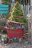 Zuckerhutfichte mit Knospenheide und Purpurglöckchen im roten Holzkübel, Band aus Rinde