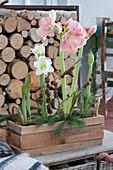 Holzkasten mit Amaryllis, dekoriert mit Koniferenzweigen