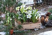 Holzkiste und Tontopf mit Christrose und Schneeglöckchen