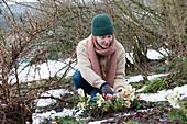 Frau schneidet Blüten von Christrose