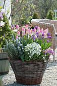 Frühlingsterrasse mit Tulpen 'Dynasty', Gänsekresse, Rosmarin, Ranunkeln und Goldlack in Korb