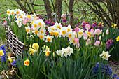 Beet mit Narzissen, Hyazinthen, Tulpen und Goldlack