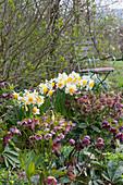 Narzissen und Lenzrosen im Frühlingsbeet