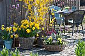 Frühlingsterrasse mit Goldglöckchen, Narzissen, Kräutern, Hornveilchen und Goldlack