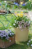 Frühlingsbepflanzung mit Narzissen, Moossteinbrech, Hornveilchen und Bohnenkraut