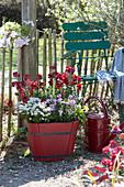 Frühlingsflirt im roten Holzkübel: Goldlack 'Winter Passion', Poem 'Lavender' und Schleifenblume 'Candy Ice