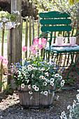 Frühlingsflirt im Holzkübel: Marokko-Margerite 'African Spring', Vergißmeinnicht und Tulpe 'Dynasty'
