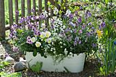 Weiße Jardiniere mit Goldlack Poem 'Lavender', Rysi 'Moon Improved', Gämskresse 'Ice Cube' und Hornveilchen 'Etain'