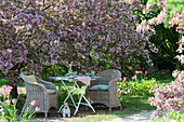 Gedeckter Tisch unterm blühenden Zierapfelbaum 'Paul Hauber', Hund Zula