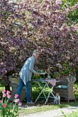 Frau deckt den Tisch unterm blühenden Zierapfelbaum 'Paul Hauber', Hund Zula