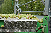 Freshly harvested apples