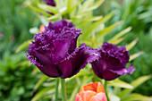 Violette Crispa-Tulpe