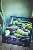 Freshly harvested zucchini and eggplant in crates