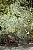 Olive tree and an old seeder