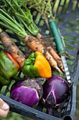 Freshly harvested garden vegetables in crates
