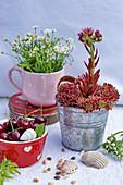 Blühende Hauswurz im Zinktopf, Kirschen und Muscheln