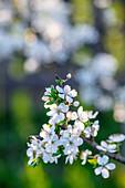 Frühlingsblüten am Zweig
