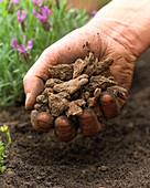 Knollen von Kronen-Anemone 'De Caen' pflanzen