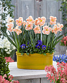 Narcissus 'Apricot Whirl'