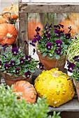 Hornveilchen 'Sorbet Purple' mit Kürbissen