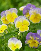Viola cornuta 'Halo Lemon Frost'