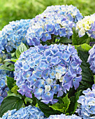 Hydrangea macrophylla 'Blue Ballad' ®