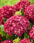 Hydrangea macrophylla 'Red Reggae' ®