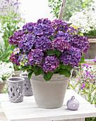 Hydrangea macrophylla 'Purple Punk' ®