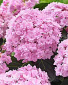 Hydrangea macrophylla 'Romance Pink'