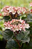 Hydrangea macrophylla 'Dancing Queen' ®