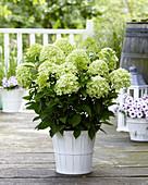 Hydrangea paniculata 'Whitelight'