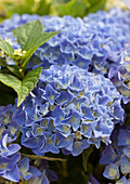 Hydrangea macrophylla 'Blue Boogiewoogie' ®