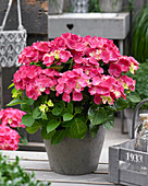 Hydrangea macrophylla 'Forever and Ever' red