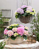 Hydrangea 'Tabletensia' ® pink and purple