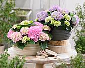 Hydrangea 'Tabletensia' ® pink and purple