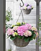 Hydrangea 'Tabletensia' ® pink