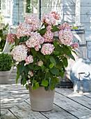 Hydrangea arborescens Candybelle® 'Bubblegum'