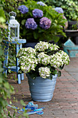 Hydrangea macrophylla Magical ® 'Noblesse'