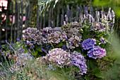 Hortensie im Garten