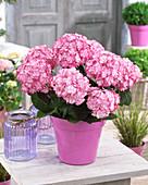 Hydrangea macrophylla 'Miss Saori' ®
