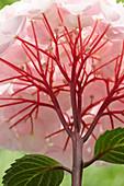 Hydrangea macrophylla Black Steel 'Flamingo' ®