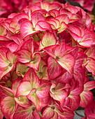 Hydrangea macrophylla 'Red Angel' ®