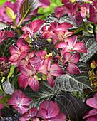 Hydrangea macrophylla Teller 'Dark Angel Purple' ®