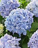 Hydrangea Spike ® 'Blue'