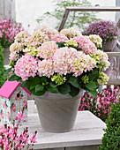 Hydrangea macrophylla 'Soft Pink Salsa' ®