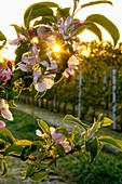 Apfelblüte in der Morgensonne